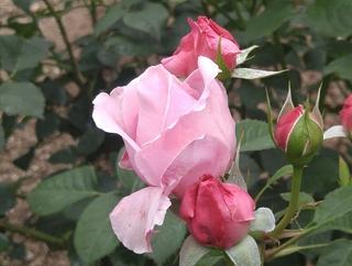 tuchida 7湧永庭園のバラ3.jpg