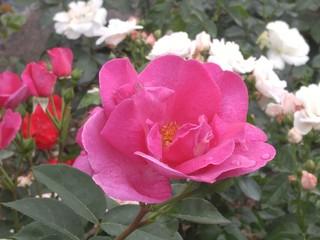 tuchida8湧永庭園のバラ2.jpg